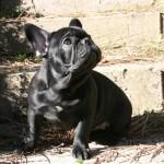 IMG 7646 r 150x150 Bulldog Francés The Lost Kingdom Chihiro (disponible)