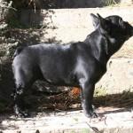 IMG 7652 r 150x150 Bulldog Francés The Lost Kingdom Chihiro (disponible)